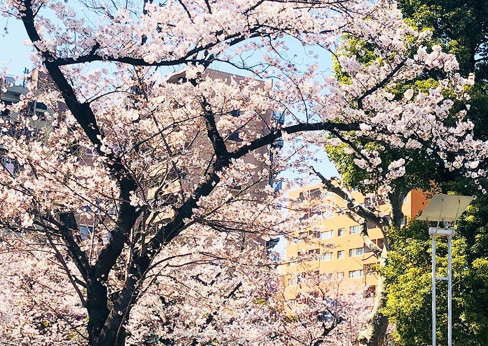 錦糸公園の桜は満開