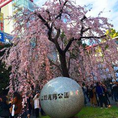 上野恩賜公園枝垂桜