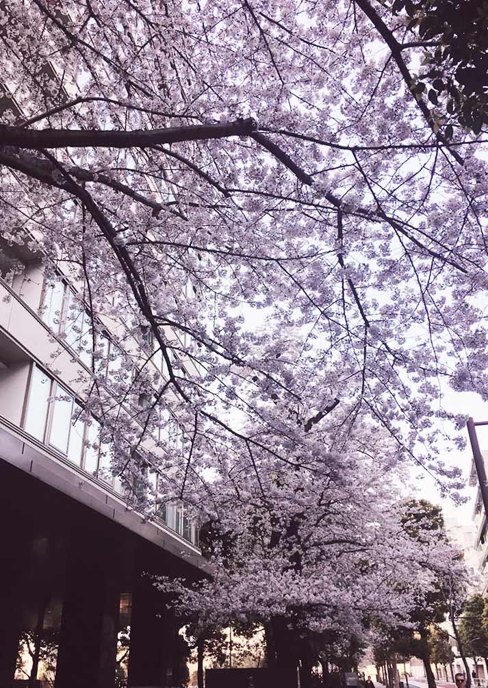 ミッドタウンの桜