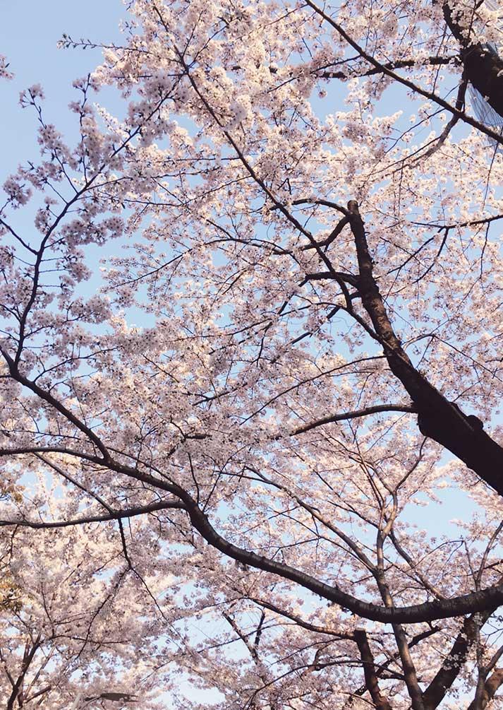 六本木桜3