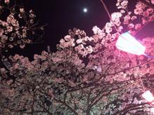 大丘川の桜